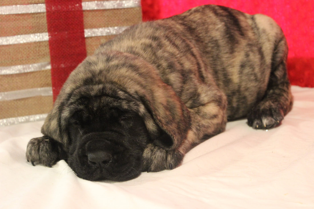 A handsome apricot male Mastiff puppy for sale.