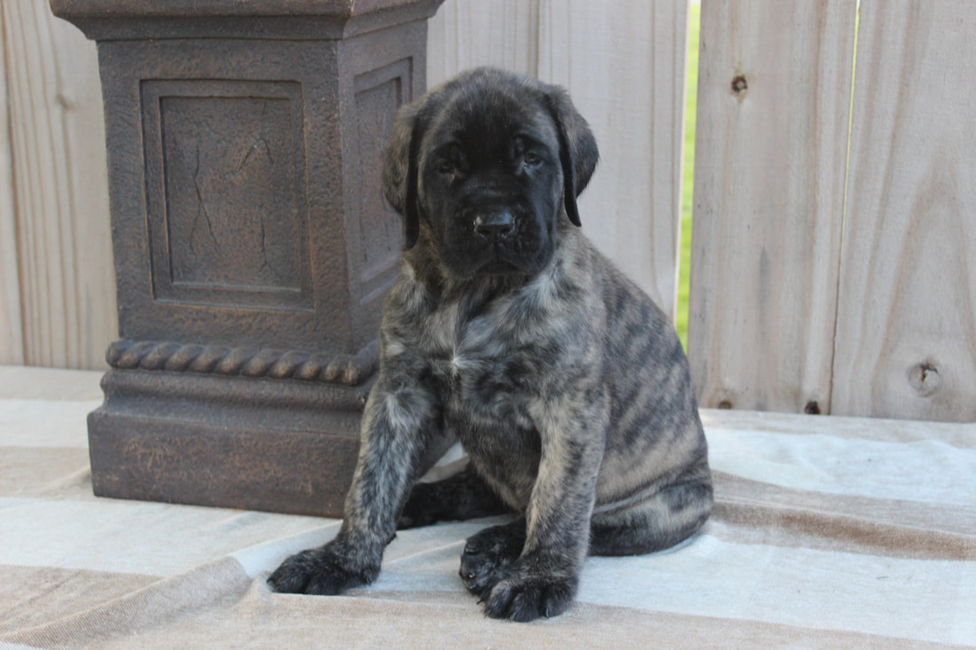 A beautiful fawn female Mastiff puppy for sale.